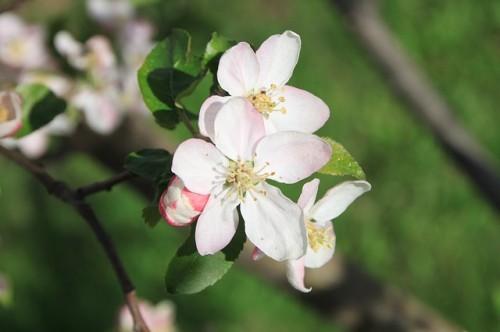 jablon kvet duben